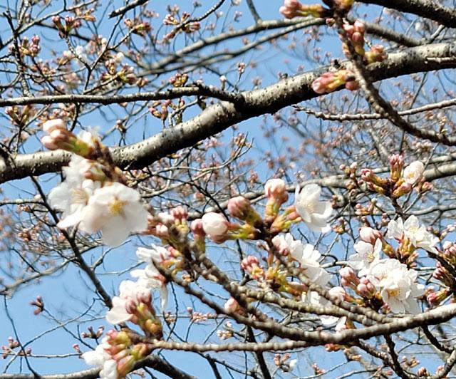 星ヶ見公園の桜