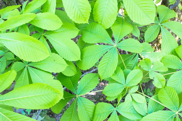 栃の木の葉
