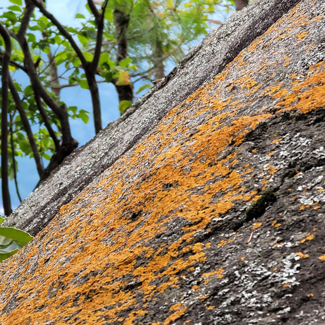 ダイダイゴケが貼り付いた紅岩