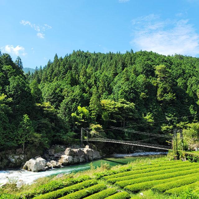 茶畑と白川と吊り橋